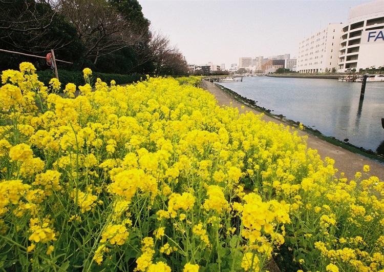 しながわ花海道菜の花
