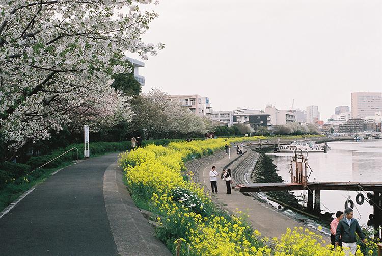 しながわ花海道桜