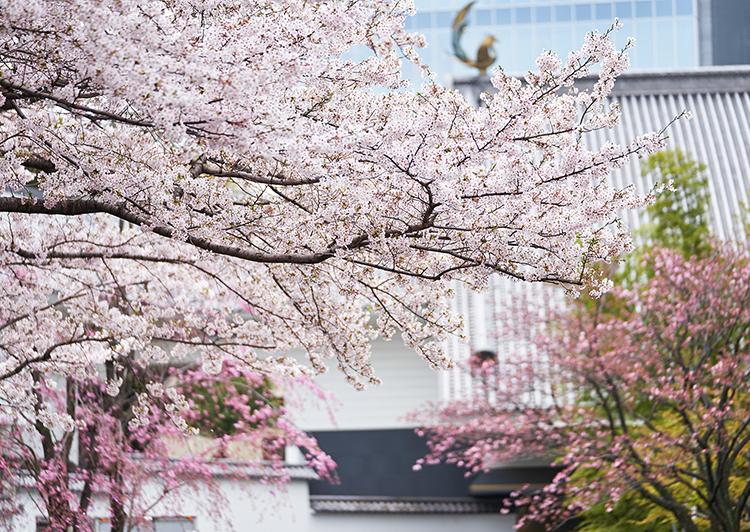 「春・さくら、咲クヤ at 百段階段」