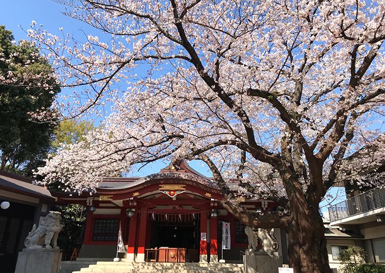 旗岡八幡神社桜20190403