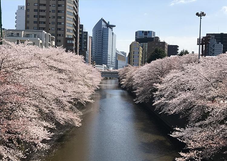 目黒区目黒川の桜
