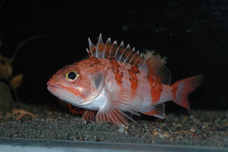 しながわ水族館「しな水の深海生物展~深海魚のまち沼津から絵描き少年がやってきた~」